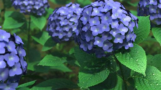紫陽花を仕上げてみる。
